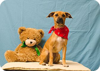 Chihuahua/Dachshund Mix Dog for adoption in Poteau, Oklahoma - LIL BITTY