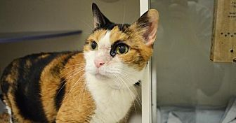 Domestic Shorthair Cat for adoption in New York, New York - Nagana