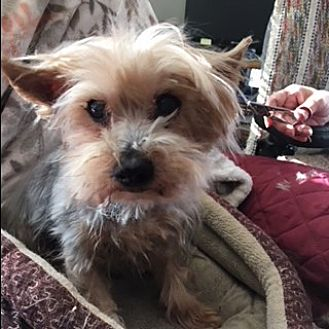 Available Dogs | Wren Yorkie Rescue