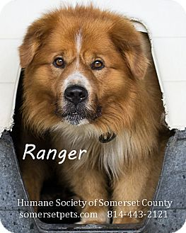 Collie/Chow Chow Mix Dog for adoption in Somerset, Pennsylvania - Ranger