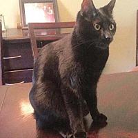Domestic Shorthair Kitten for adoption in New York, New York - Bug