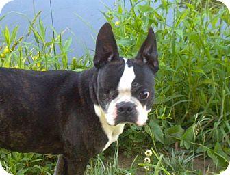 Lexington, KY - Boston Terrier  Meet Joe Joe a Pet for Adoption
