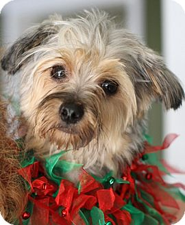 Dayton Oh Yorkie Yorkshire Terrier Meet Mikey A Pet For Adoption