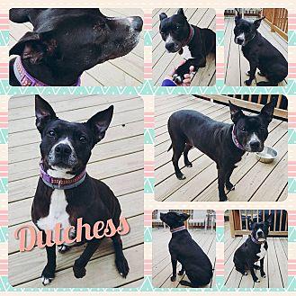 Adopt A Pet :: Dutchess  - Clarksville, TN