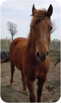 Quarterhorse Mix for adoption in Dewey, Illinois - Dusty