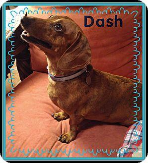 Dachshund Dog for adoption in Green Cove Springs, Florida - Dash