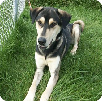 Liberty Center Oh German Shepherd Dog Meet Bandit A Pet For