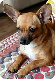 Chihuahua Mix Dog for adoption in Houston, Texas - Kay