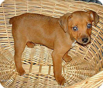 Jack Russell Terrier/Miniature Pinscher Mix Puppy for adoption in Antioch, California - Fudge