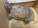 Adopt a Pet :: MOLLY - Chatsworth, CA -  Turtle - Other