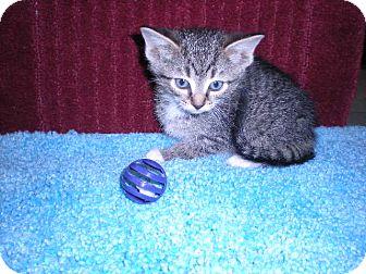 """Domestic Shorthair Kitten for adoption in New Castle, Pennsylvania - """" Eva """""""