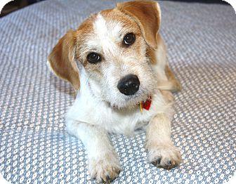 Yorba Linda, CA - Fox Terrier (Wirehaired). Meet Cavanaugh a Dog ...