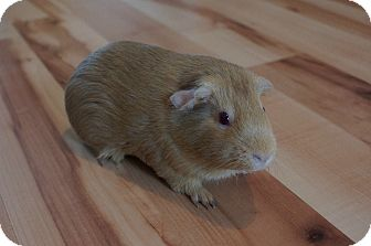 Guinea Pig for adoption in Brooklyn Park, Minnesota - Lola