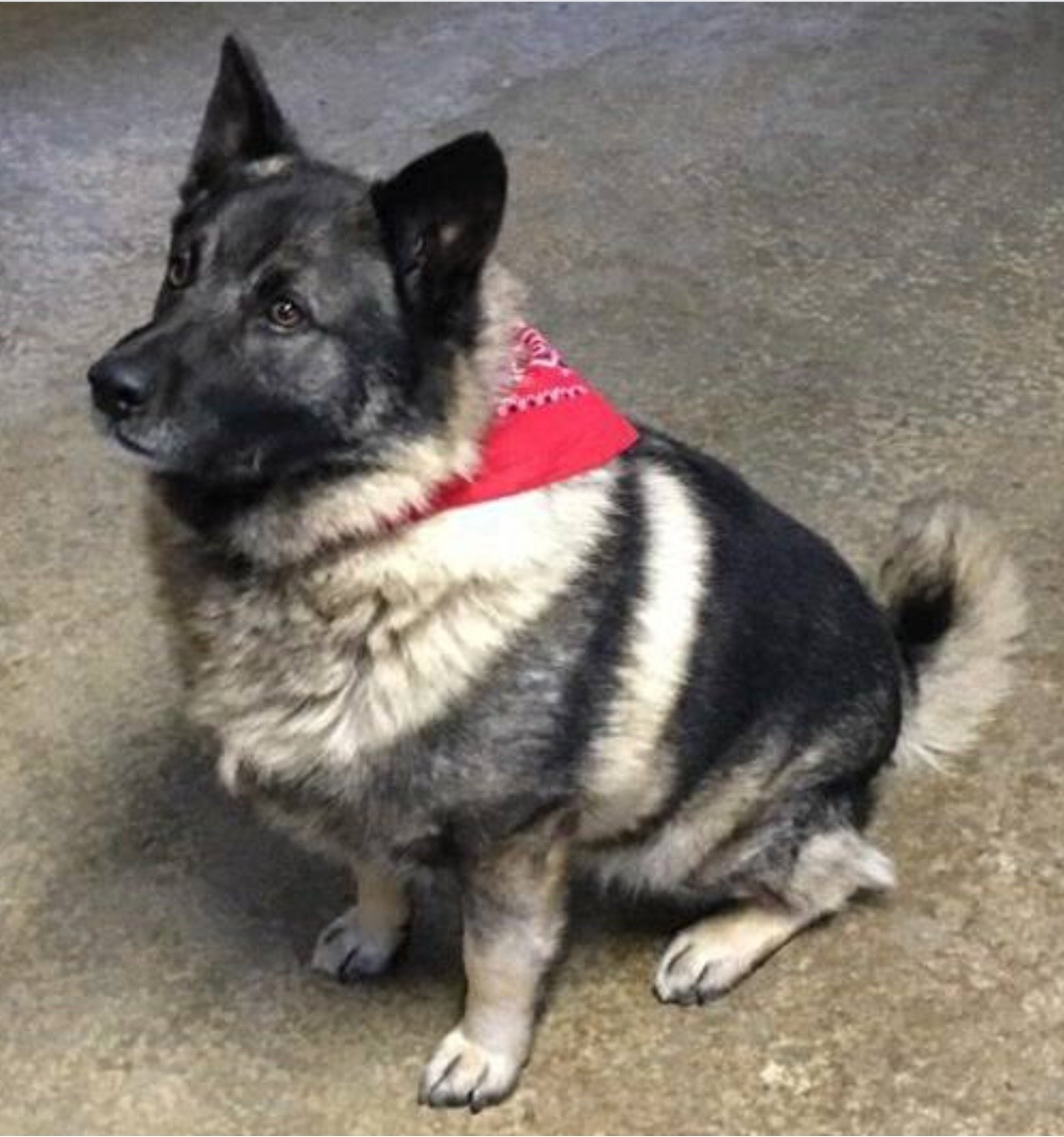 White Oak Pa Norwegian Elkhound Meet Russo A Pet For Adoption