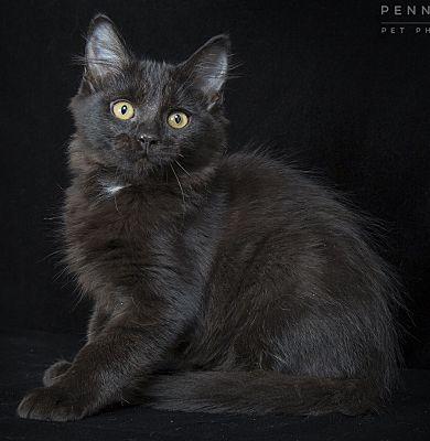 Nashville Tn Maine Coon Meet Ricky A Pet For Adoption