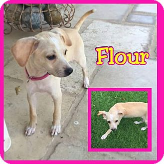 Chihuahua/Terrier (Unknown Type, Medium) Mix Puppy for adoption in Mesa, Arizona - Flour