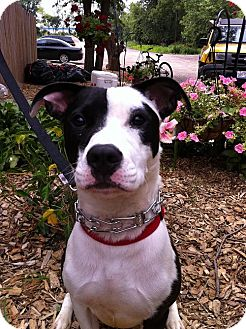 Vernon Hills Il American Pit Bull Terrier Meet Cowboy A Pet For
