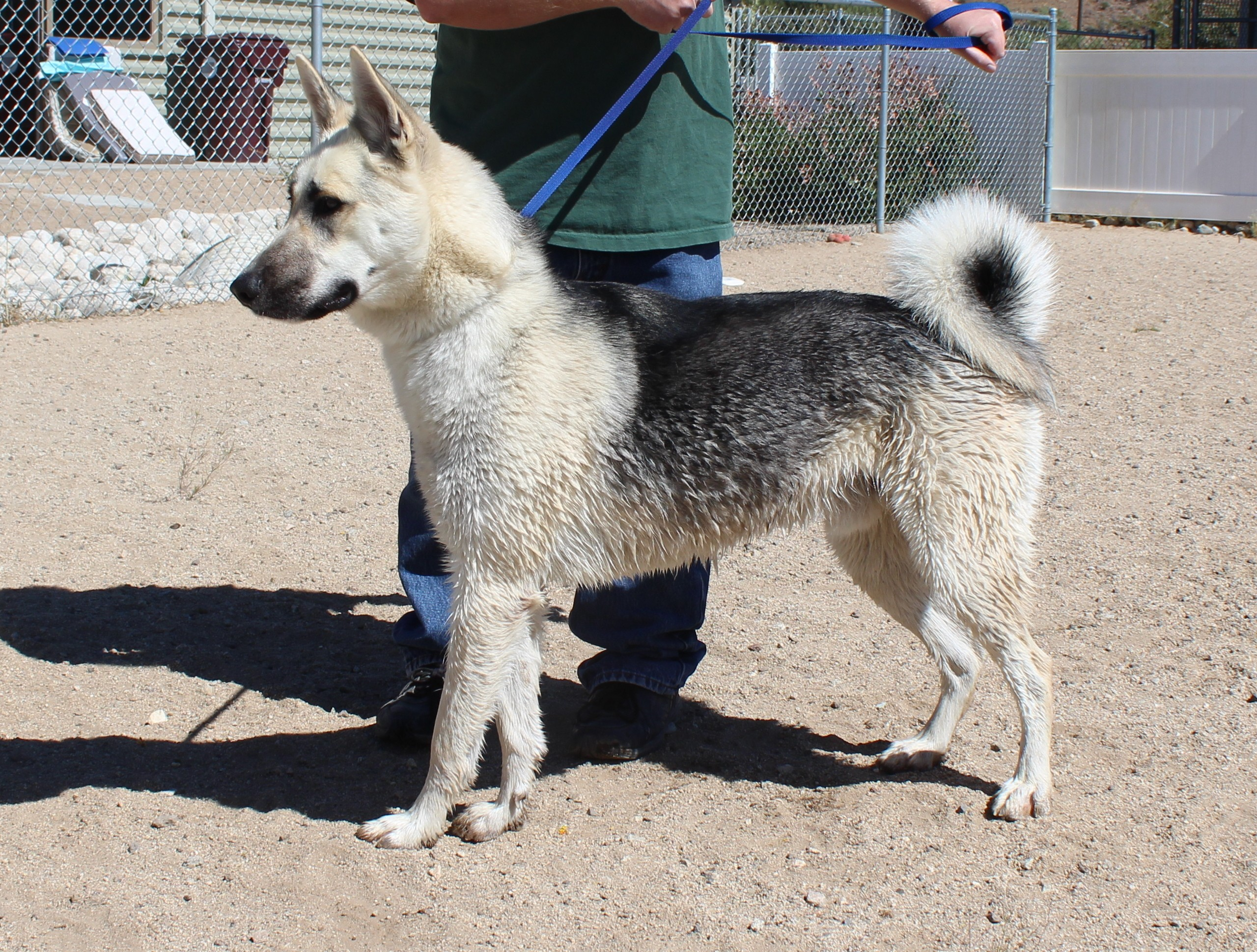 Husky puppies for sale yucca valley - Yucca Valley Ca Shepherd Unknown Type Meet Clyde Vanilla Banana A Dog For Adoption