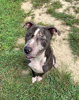Adopt A Pet :: Cujo  - Henderson, NC