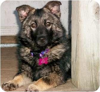 Baltimore Md Norwegian Elkhound Meet Mandy A Pet For