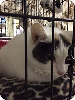 Calico Cat for adoption in Byron Center, Michigan - Eaglet