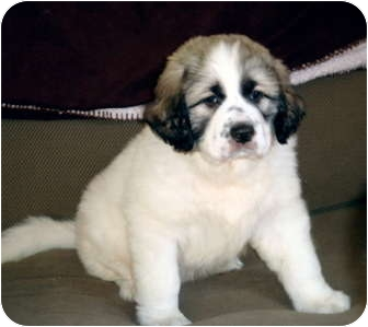 Bloomington Il Great Pyrenees Meet Bernard A Pet For Adoption