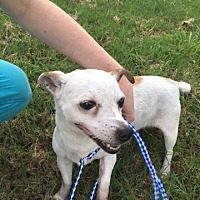 Jack Russell Terrier Dog for adoption in Columbia, Tennessee - Reno