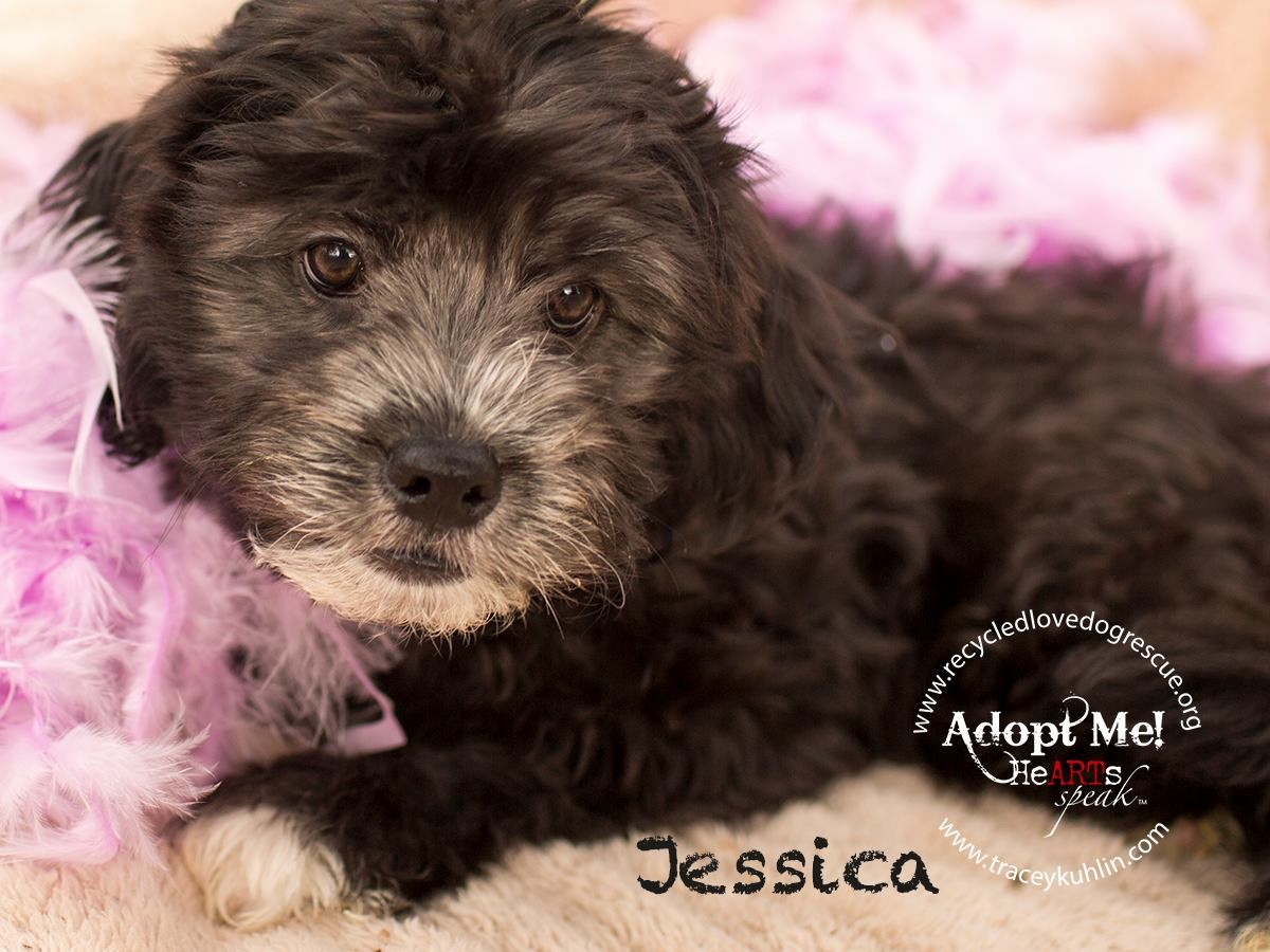 Inland Empire Ca Shih Tzu Meet Jessica A Pet For Adoption