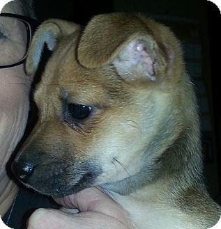 Buffalo Ny Chihuahua Meet Dee Peanut A Pet For Adoption
