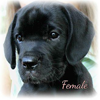 Proctorville Ohio Oh Mastiff Meet Mastador Puppies A Pet For