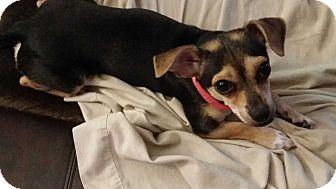 Chihuahua/Dachshund Mix Dog for adoption in Worcester, Massachusetts - Velma