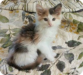 Maine coon mix kitten bayern