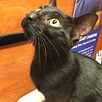 Adopt A Pet :: Cleocatra - Morganton, NC