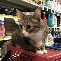 Adopt A Pet :: Sandy the Declawed Sweetheart - Oviedo, FL
