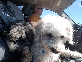 Adopt A Pet :: Lizzie  - Renton, WA