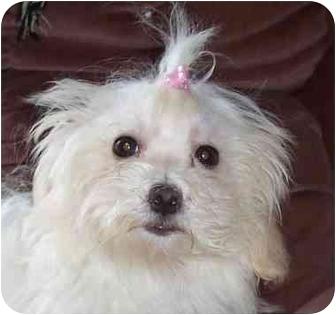 Eau Claire Wi Maltese Meet Cassie A Pet For Adoption