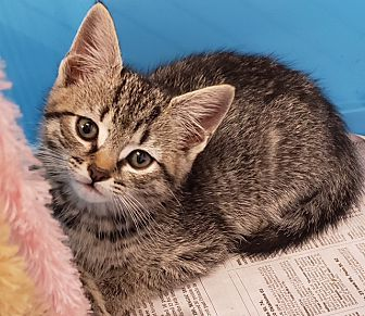 Adopt A Pet :: Lily  - Dumfries, VA