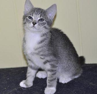Adopt A Pet :: Mittens - adoption pending  - Liberty, NC