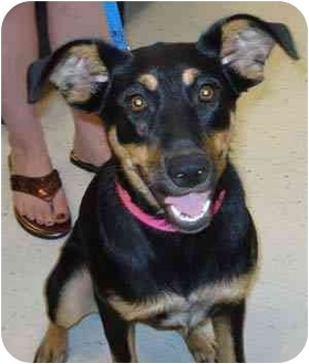 Houston TX Manchester Terrier Meet Cleo A Dog For Adoption - Terrier and rottweiler