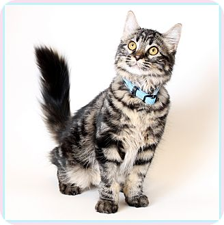 Domestic Longhair Cat for adoption in Glendale, Arizona - Coral
