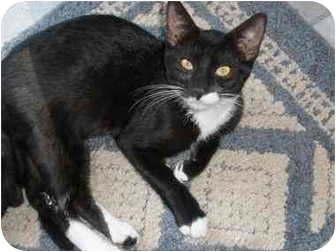 Domestic Shorthair Cat for adoption in Little Falls, New Jersey - CODY