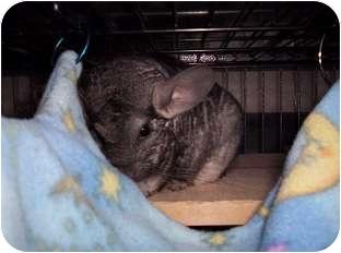 Chinchilla for adoption in Avondale, Louisiana - Mitzi