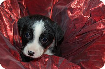 Labrador Retriever/Blue Heeler Mix Puppy for adoption in Lebanon, Tennessee - TITO