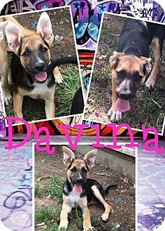German Shepherd Dog Mix Puppy for adoption in Cheney, Kansas - Davina