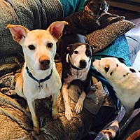 Adopt A Pet :: Blondie - Courtesy Post - Dallas, GA