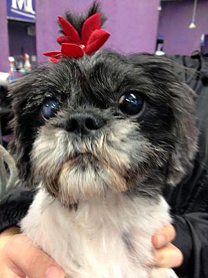 Philadelphia Pa Shih Tzu Meet Olivia A Pet For Adoption