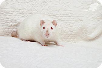 Rat for adoption in Boise, Idaho - Snow White
