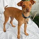 Adopt A Pet :: Flash in TEXAS