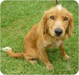 Sacramento Ca Golden Retriever Meet Flynn A Pet For Adoption