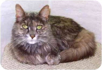 Domestic Longhair Cat for adoption in Howes Cave, New York - Phoebe
